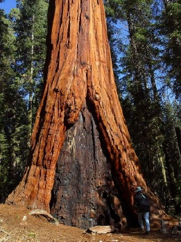 Giant_Sequoia